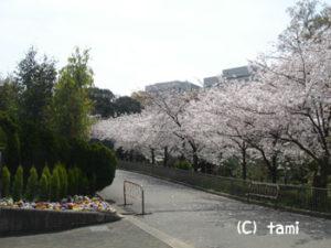 天王寺動物園 動物園 ピクニック 桜花見