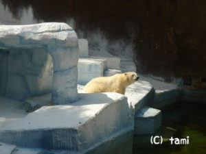 天王寺動物園 動物園 ピクニック ホッキョクグマ