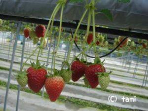 淡路島旅行 薫寿堂お香造り体験 水仙郷 プチトマト収穫体験 イングランドの丘