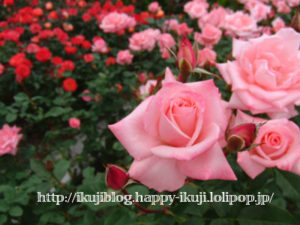 荒牧バラ公園 バラ園花見