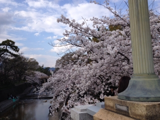 夙川公園 桜花見