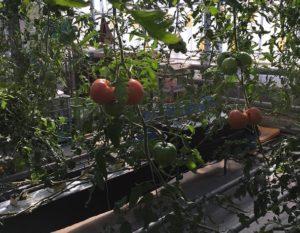 淡路ファームパークイングランドの丘トマト収穫体験