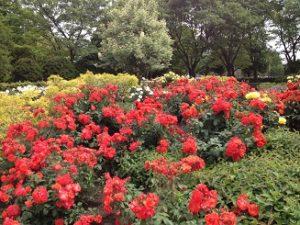 バラ花見 瓦木公園