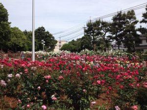 バラ花見 大井戸公園