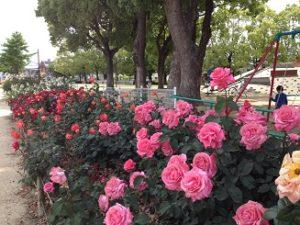 バラ花見 水明公園