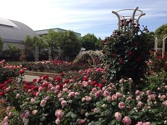 バラ花見 潮江公園