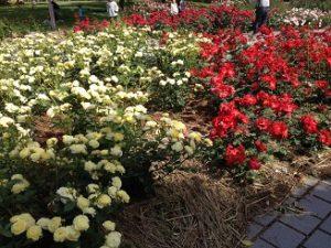 バラ花見 尼崎農業公園