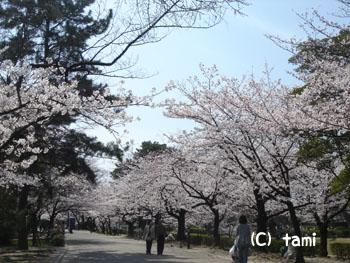 夙川公園 公園 桜名所