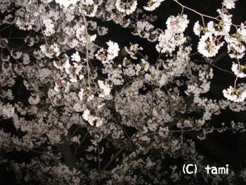 夜桜 夙川公園 桜花見