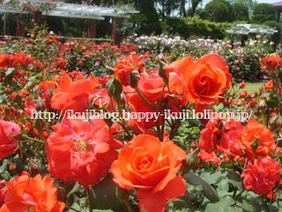 京都府立植物園 バラ花見 温室植物園
