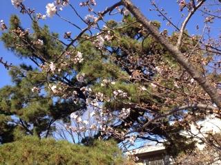 夙川桜開花状況