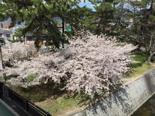 夙川公園 桜花見 夜桜