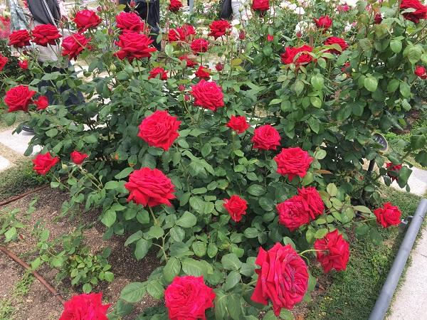 中之島公園 バラ花見