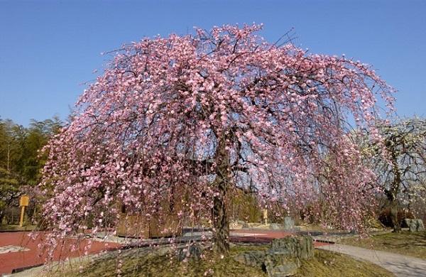 万博記念公園 梅まつり
