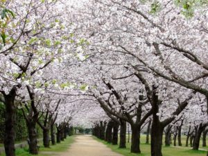 浜寺公園 桜名所 桜花見