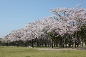 しあわせの村 桜花見 桜名所