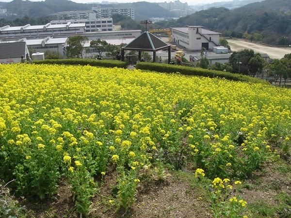 神戸総合運動公園 菜の花まつり