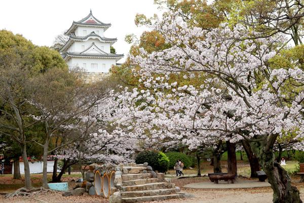 明石公園 桜まつり 桜花見