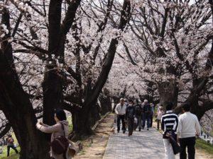 八幡市淀川背割提 桜花見 桜名所