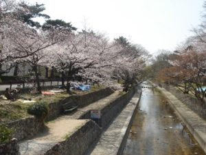 夙川公園 桜花見 桜名所
