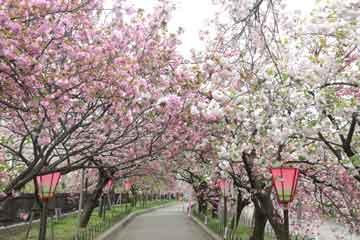 造幣局 桜の通り抜け 桜花見
