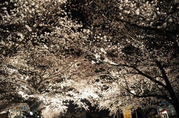 神戸市立王子動物園 夜桜通り抜け