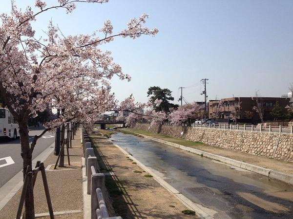 芦屋川桜花見 芦屋桜まつり