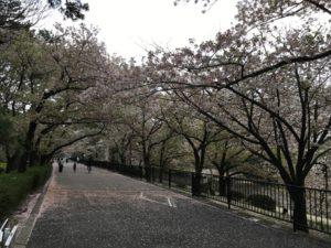 夙川公園桜花見