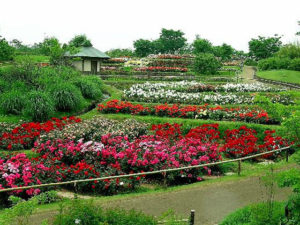 浜寺公園 バラ園