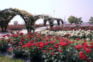 万博記念公園 バラ園