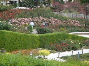 荒牧バラ園 バラ花見 兵庫県バラ