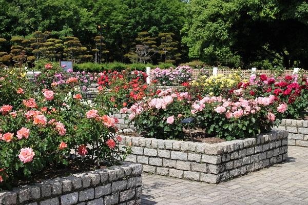 長居植物園 秋のローズウィーク バラ花見