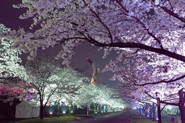 万博記念公園 桜まつり 桜花見