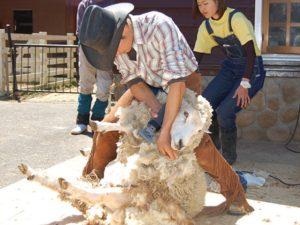 六甲山牧場 羊の毛刈りショー