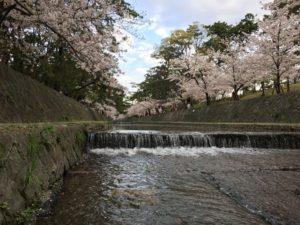 夙川公園 桜花見 名所
